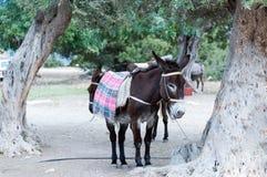 Asino del Cipro Fotografia Stock Libera da Diritti