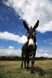 Asino dell'animale domestico Immagini Stock Libere da Diritti