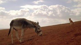 Asino e cane su una collina nel deserto scena cinematografica atmosferica video d archivio