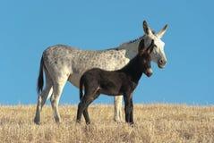 Asino e suo Foal Immagini Stock