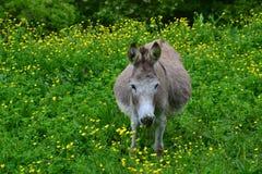 Asino in erba verde alta Fotografia Stock