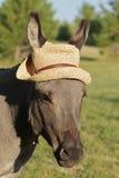 Asino miniatura con il cappello Fotografia Stock