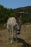 Asino nelle montagne della Grecia Fotografia Stock Libera da Diritti
