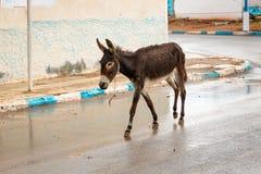 Asino nelle vie di Sidi Ifni, Marocco Fotografia Stock
