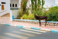 Asino nelle vie di Sidi Ifni, Marocco Fotografie Stock Libere da Diritti