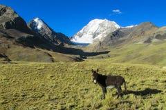 Asino posteriore nelle montagne Fotografia Stock