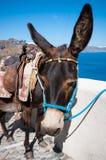 Asino in Santorini Fotografia Stock Libera da Diritti