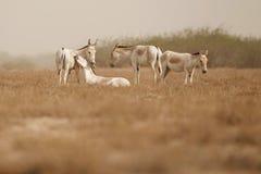 Asino selvaggio nel deserto poco rann di kutch Immagini Stock Libere da Diritti