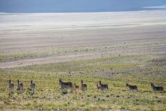 Asino selvaggio nel Tibet Immagine Stock