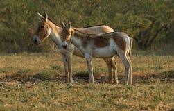 Asino selvaggio sul piccolo Rann di Kutch fotografia stock
