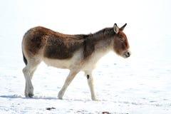 Asino selvaggio tibetano (kiang di equus) immagine stock libera da diritti