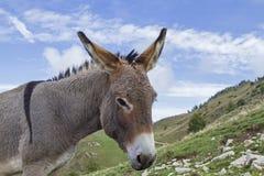 Asino su un prato della montagna in Trentino Immagini Stock Libere da Diritti