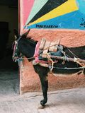 ASINO IN VIA DI MARRAKESH fotografia stock