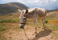 Asinus blanco del burro en latín foto de archivo