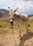 Asinus blanco del burro en latín foto de archivo libre de regalías