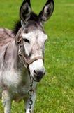 Asinus doux, heureux, petit d'africanus d'Equus d'âne sur un pré herbeux en été ensoleillé images stock