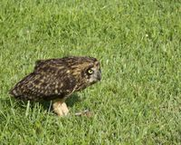 Asio flammeus sandwichensis. Pueo, the Hawaiian Owl, is listed as Endangered on the island of O'ahu.  Formerly worshipped as a god, this one was photographed Royalty Free Stock Images
