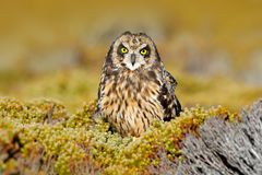 Asio flammeus sanfordi, owl in the nature habitat. Bird with nice evening sun. Short-eared Owl, rare endemic bird from Sea Lion Is stock photography