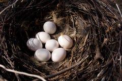 Asio otus, Long-eared Owl Stock Photography