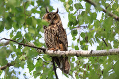 Asio otus, Long-eared Owl. The bird perching on a branch of the tree Royalty Free Stock Images