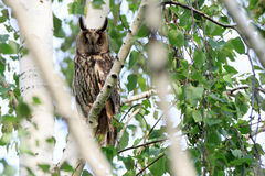 Asio otus, Long-eared Owl. The bird perching on a branch of the tree Royalty Free Stock Photos