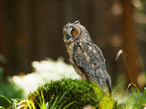 Asio otus -  Long-eared owl siting oh the stump in forest Stock Image