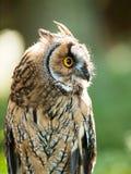 Asio otus - Strix otus - portrait of Long-eared owl Royalty Free Stock Photography