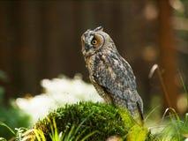 Asio Otus - Waldohreule, die oh den Stumpf im Wald stationiert Stockbild