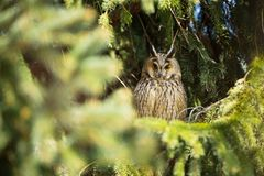 Asio otus. Wild nature. Beautiful photo. Owl on the tree. Free nature. From bird life. Wildlife of the Czech Republic. Owl on the photo. Spring royalty free stock image