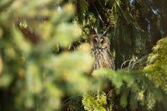 Asio otus. Wild nature. Beautiful photo. Owl on the tree. Free nature. Stock Image