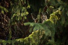 Asio otus. Wild nature. Beautiful photo. Owl on the tree. Free nature. From bird life. Wildlife of the Czech Republic. Owl on the photo. Spring royalty free stock photos
