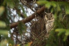 Asio otus. Wild nature. Beautiful photo. Owl on the tree. Free nature. Royalty Free Stock Photos