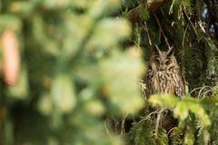 Asio otus. Wild nature. Beautiful photo. Owl on the tree. Free nature. Royalty Free Stock Image