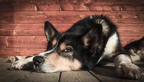 Ask. An Alaskan Husky called Ask. He is 11 years old, and has now gone on pension. You can see he is enjoying his time after 11 years of hard work Royalty Free Stock Photography
