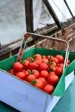 Ask av körsbärsröda tomater Fotografering för Bildbyråer