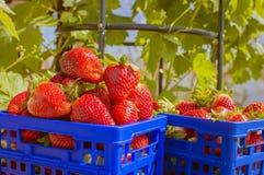 Ask med jordgubbar Arkivfoto