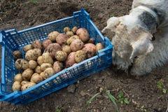 Ask med potatisar och en foxterrier Royaltyfria Bilder