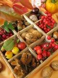 ask som samlar fallfrukter Arkivbilder