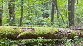 aska bruten förmultnad tree Arkivbilder