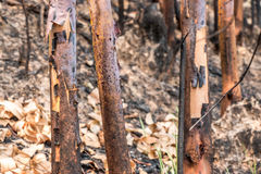Aska och bränt träd efter brand Arkivbild
