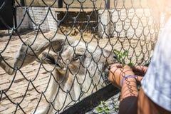 Askania新星,赫尔松地区,乌克兰- 2017年7月01日:从手的捻角山羊饲料,国家储备Aska的动物园 免版税图库摄影
