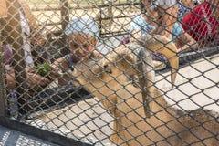 Askania-nova, Kherson-gebied, de Oekraïne - Juli 01, 2017: De mensen voeden de schapen van Barbarije van handen, zoölogische tuin Stock Foto's