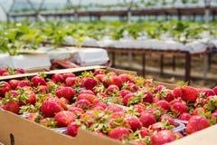 Askar av jordgubbar i bondemarknad Spjällådor mycket av fragaria Royaltyfri Bild