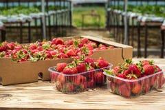 Askar av jordgubbar i bondemarknad Spjällådor mycket av fragaria Royaltyfria Bilder