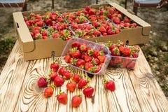 Askar av jordgubbar i bondemarknad Spjällådor mycket av fragaria Arkivfoton