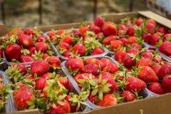 Askar av jordgubbar i bondemarknad Spjällådor mycket av fragaria Royaltyfria Foton