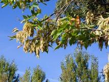 Askaträd Arkivbilder
