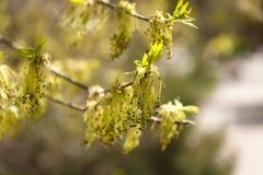 Askfläderträd Arkivbild