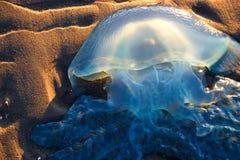 Askgeléfisk som strandas på stranden royaltyfri foto