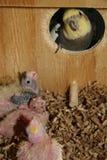 askhatchlings nest nyfött arkivbild